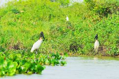 Tuiuiu birds over some plants on the margins of a river. Big bird with white feathers, black head, long beak and a red stripe on neck. Bird of Pantanal, Brazil Royalty Free Stock Photos