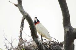 Tuiuiu ptak na jego gniazdeczku nad drzewem Ptak Pantanal, Brazylia Fotografia Stock