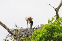 Tuiuiu ptak na jego gniazdeczku nad drzewem Ptak Pantanal, Brazylia Zdjęcia Stock