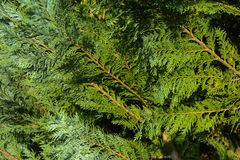 Tuja & x28; życia tree& x29; w krajobrazowym projekcie są i są jeden podstawowe rośliny obraz stock