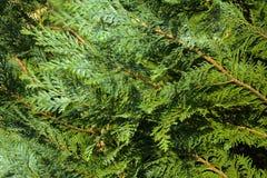 Tuja & x28; życia tree& x29; w krajobrazowym projekcie są i są jeden podstawowe rośliny obraz royalty free