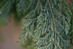 Tuja liście zakrywający z hoarfrost makro- fotografia stock