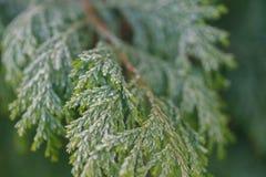 Tuja liście zakrywający z hoarfrost makro- zdjęcia stock