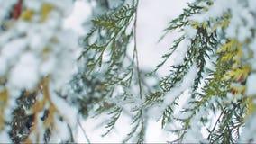 Tuja rozgałęzia się waggling wolno w zima wiatrze zbiory wideo
