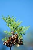 Tuja seed, crop Stock Photography