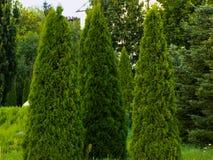 Tuji träd i trädgården Arkivbild