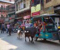 Tuk-tuk και ινδικές ιερές αγελάδες Στοκ Εικόνες