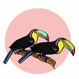 Tukan birds and pink circle backgorund. White background Stock Photo