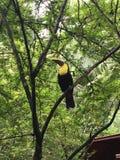 Tukan Costa Rica arkivbilder