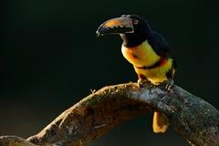 Tukan, das auf der Niederlassung im Wald, Boca Tapada, Laguna de Lagarto Lodge, Costa Rica sitzt Naturvogelreise in zentralem Ame Lizenzfreies Stockbild