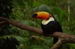 Tukan, das auf einem Baum sitzt Lizenzfreie Stockbilder