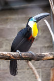 Tukan fågel i zoo Arkivbild