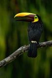 Tukan, großer Schnabelvogel Chesnut-mandibled, das auf der Niederlassung im tropischen Regen mit grünem Dschungelhintergrund, Tie Stockbild