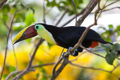 Tukan i Costa Rica Arkivbilder