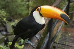 Tukan i en brasilian parkerar Arkivfoton