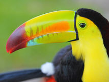 Tukan. Keel Billed Toucan från Central America. Makro Royaltyfri Bild