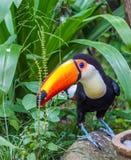 Tukan med den orange näbb Royaltyfria Bilder