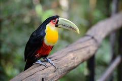Tukan nationalpark Iguazu, Brasilien fotografering för bildbyråer