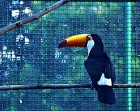 Tukan och dess omisskännliga näbb royaltyfria foton