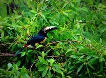 Tukanart försåg med krage aracarisittin i en treetop som söker efter bär royaltyfria foton