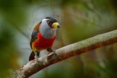 Tukanbarbet-, Semnornis ramphastinus, Bellavista, Ecuador, exotiska grå färger och röd fågel, djurlivplats från naturen Birdwatch royaltyfri fotografi