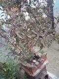 Tulasi Ayurveda träd royaltyfria bilder