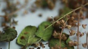 Tulasi basil seeds aroma holy plant herb stock video