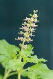Tulasi flowers Royalty Free Stock Image