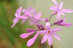 Tulbaghia violacea、社会大蒜或者桃红色爱情花 库存照片