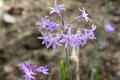 Tulbaghia violacea, society garlic, pink agapanthus. Tulbaghia violacea, also called society garlic, pink agapanthus, purple violet flowers on stem stock images
