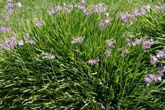 Tulbaghia violacea, społeczeństwo czosnek, różowy agapanthus Obraz Stock