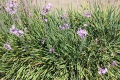 Tulbaghia violacea, społeczeństwo czosnek, różowy agapanthus Zdjęcie Royalty Free