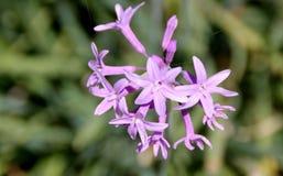 Tulbaghia violacea, społeczeństwo czosnek, różowy agapanthus Zdjęcia Royalty Free