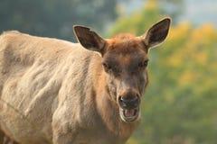 Tule elk Royalty Free Stock Images