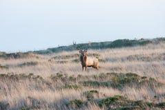 Tule elk Stock Photo