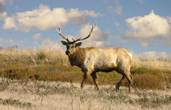 Tule Elk Royalty Free Stock Photo