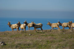 Tule Elk. Roaming in a protected Elk reserve Royalty Free Stock Photography