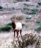 Tule Elk Stock Photo