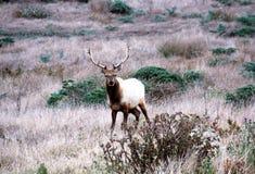 Tule Elk Stock Images