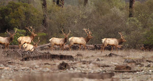 Tule Elk Bull Herd Royalty Free Stock Images