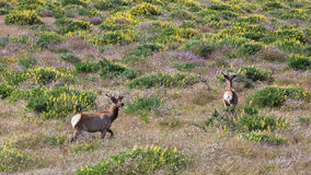 Tule Elk in California. Young tule elk in beautiful flower fields at Point Reyes National Seashore, California Stock Photos