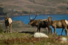 Tule Elk (Cervus canadensis) Stock Photography