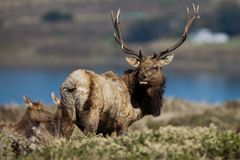 Tule Elk (Cervus canadensis) Royalty Free Stock Photo