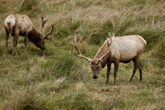 Tule Elk (Cervus canadensis). Bull Tule Elk (Cervus canadensis) in a wilderness at Point Reyes National Seashore, California Stock Images