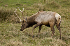 Tule Elk (Cervus canadensis). Bull Tule Elk (Cervus canadensis) in a wilderness at Point Reyes National Seashore, California Royalty Free Stock Photo