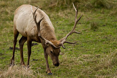 Tule Elk (Cervus canadensis). Bull Tule Elk (Cervus canadensis) in a wilderness at Point Reyes National Seashore, California Royalty Free Stock Image