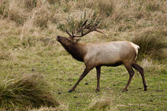 Tule Elk (Cervus canadensis). Bull Tule Elk (Cervus canadensis) in a wilderness at Point Reyes National Seashore, California Stock Image