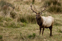 Tule Elk (Cervus canadensis). Bull Tule Elk (Cervus canadensis) in a wilderness at Point Reyes National Seashore, California Royalty Free Stock Images
