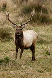 Tule Elk (Cervus canadensis). Bull Tule Elk (Cervus canadensis) in a wilderness at Point Reyes National Seashore, California Stock Photography