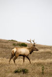 Tule Elk Cervus canadensis nannodes. Male Tule Elk Cervus canadensis nannodes in the Point Reyes National Seashore near San Francisco, California, USA Stock Photo